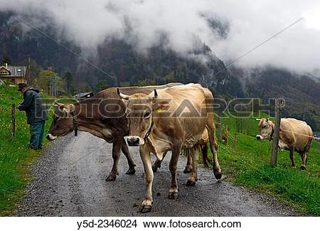 Stock Photo of cows crossing the road for changing pasture.