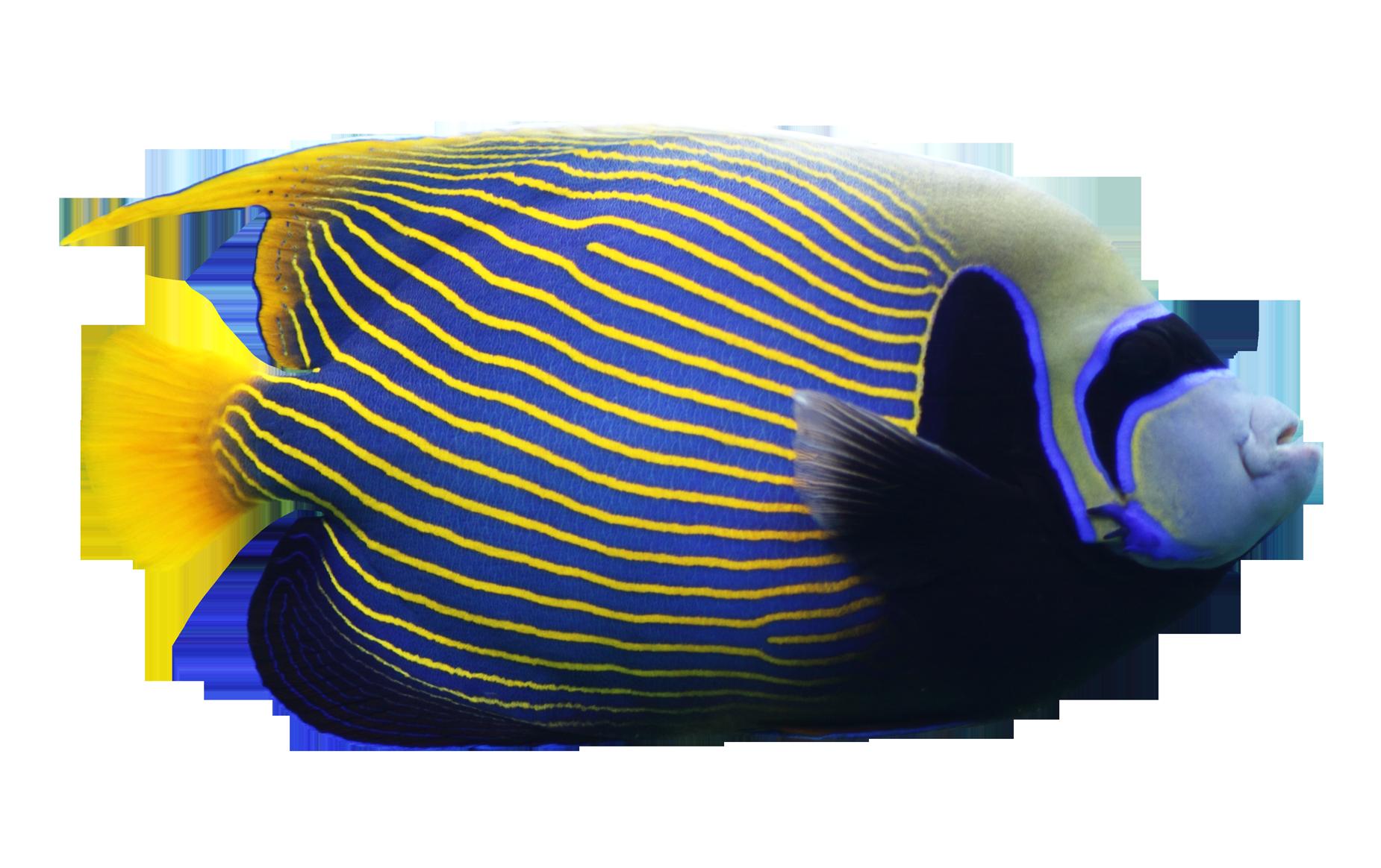 Angelfish PNG Image.