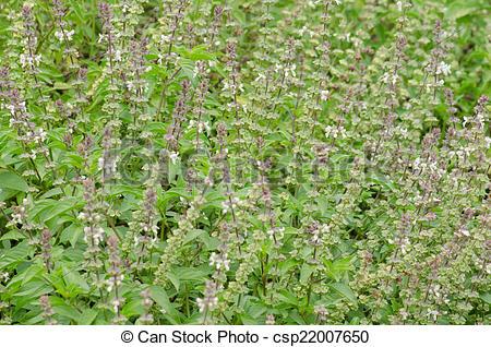 Stock Images of Ocimum basilicum.