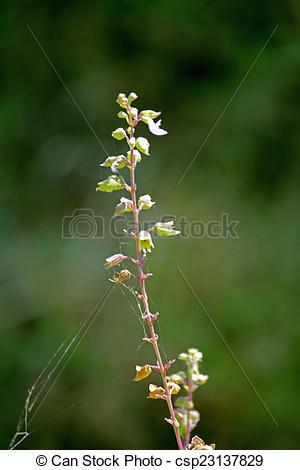 Stock Photo of Basil, Sweet basil, Ocimum basilicum, India.