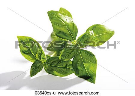 Stock Images of Basil (Ocimum basilicum) against white background.