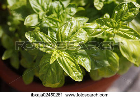 Stock Photography of Basil (Ocimum basilicum) ibxaja02450261.