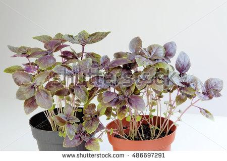 Meticulous Handpainted Begonia Flowers Vector Stock Vector.