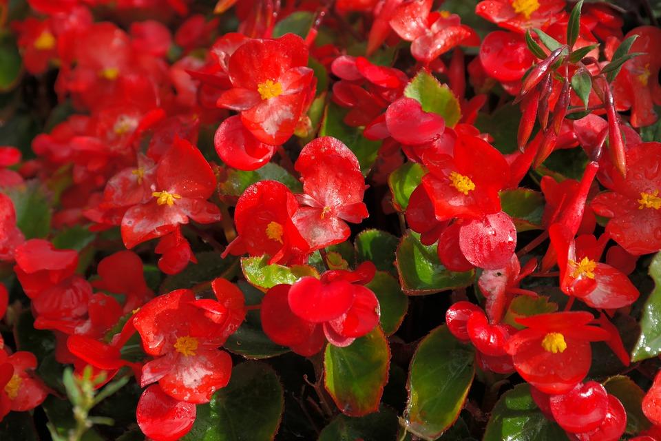 Free photo: Ice Begonias, Flowers, Red, Flora.