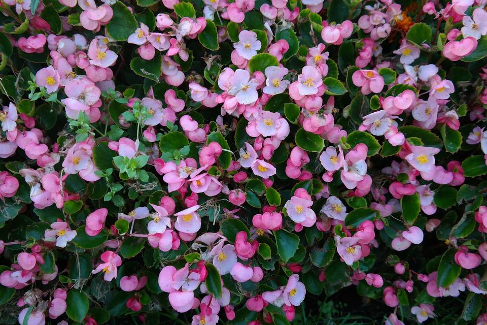 Free photo: Ice Begonias, Flowers, Pink, Flora.