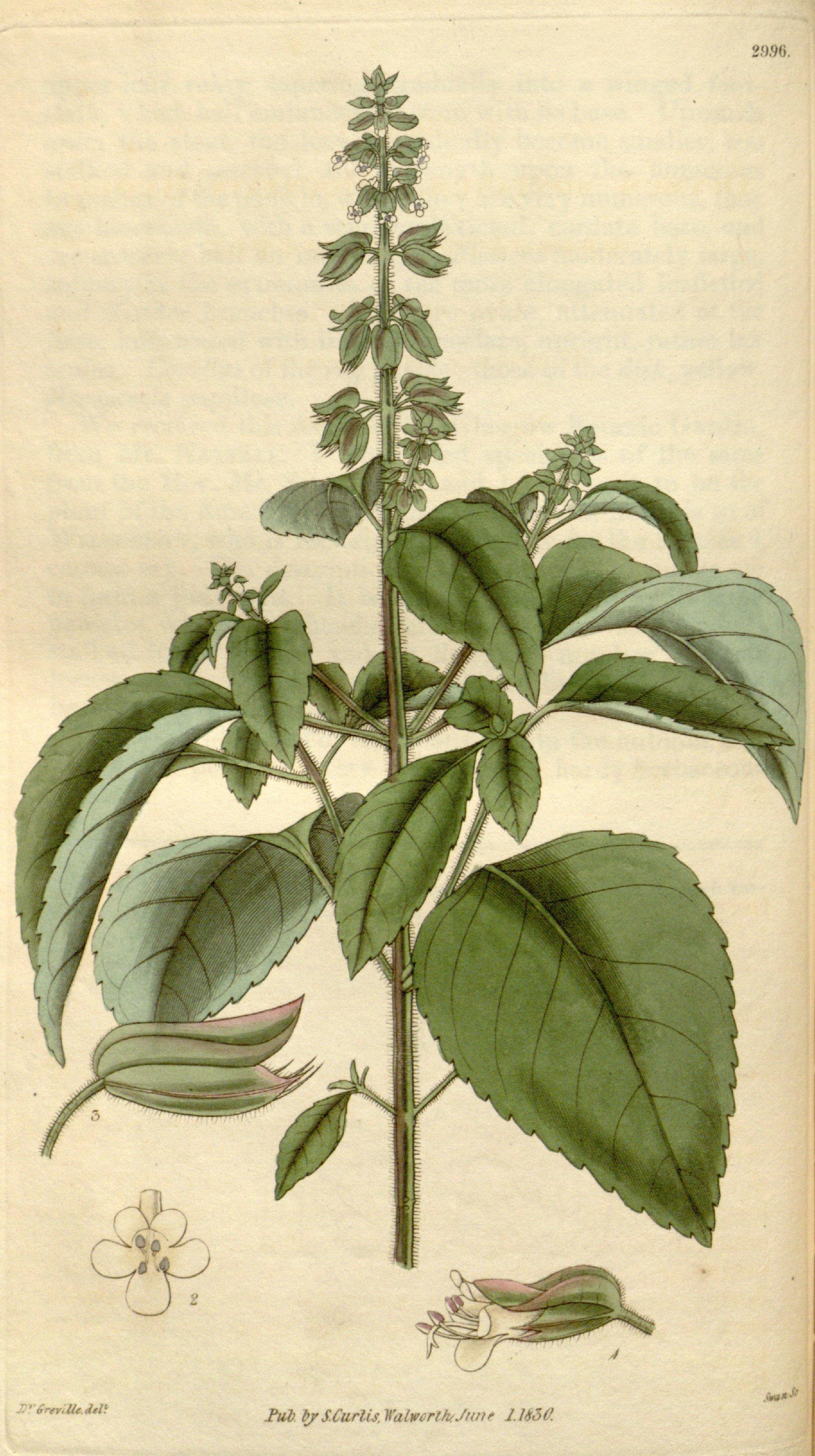 Ocimum campechianum.