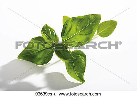 Stock Images of Basil (Ocimum basilicum) against white background.