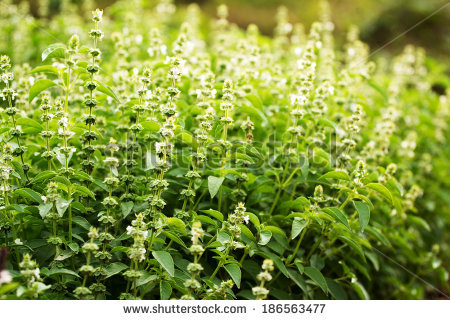 """ocimum Sanctum"" Stock Photos, Royalty."