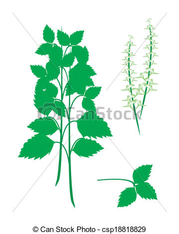 Ocimum Vector Clip Art Illustrations. 38 Ocimum clipart EPS vector.