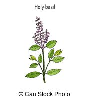 Ocimum Vector Clip Art Illustrations. 44 Ocimum clipart EPS vector.