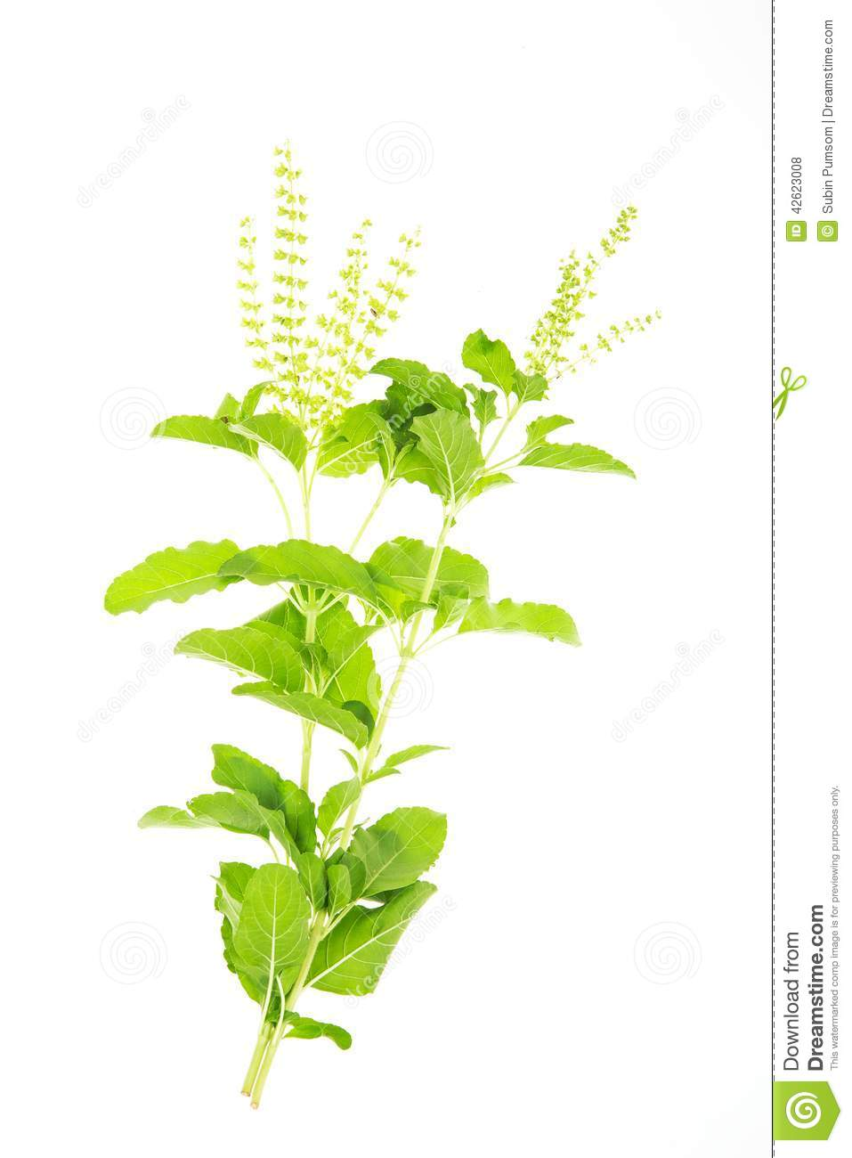 Ocimum Sanctum Stock Photo.