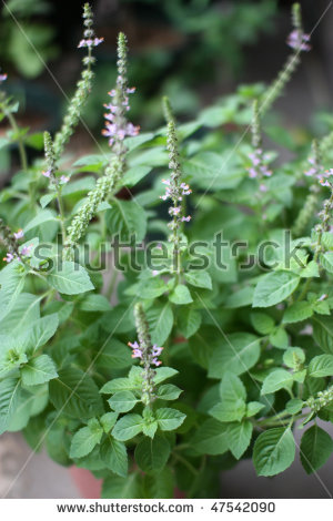 Aromatic Plants Stock Photos, Royalty.