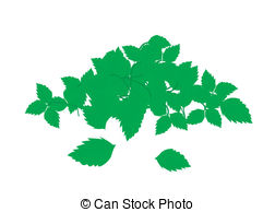Ocimum tenuiflorum Vector Clip Art Illustrations. 23 Ocimum.