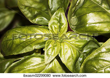 Stock Photography of Basil (Ocimum basilicum) ibxasm02299080.