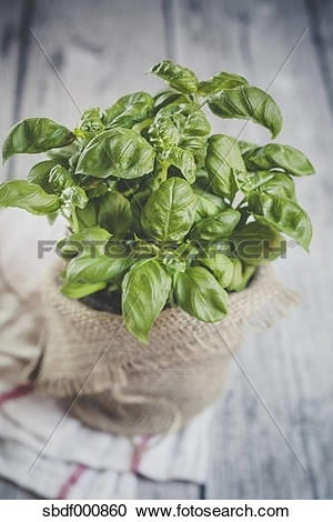 Stock Photography of Basil, Ocimum basilicum, sort Genovese, in a.