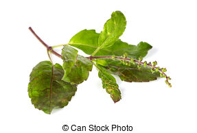 Stock Images of Holy Basil,Ocimum sanctum isolate on white.