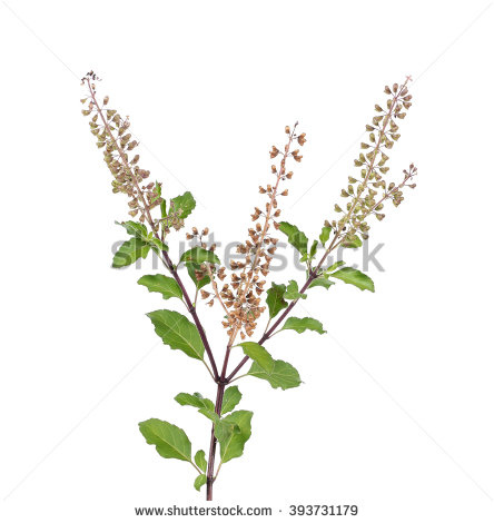 Ocimum Sanctum Stock Photos, Royalty.