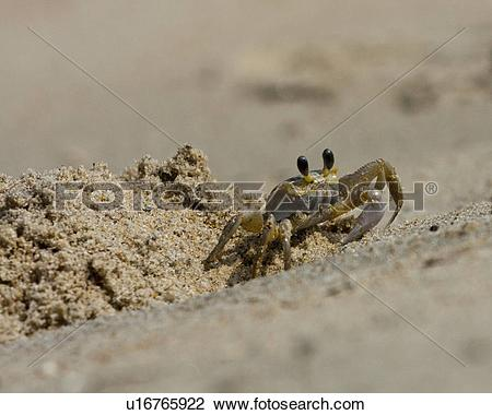 Stock Photo of beach water ghost crab ocypode quadrata nags nc.