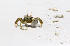 Ghost Crab (Ocypode Quadrata) Stock Photo.