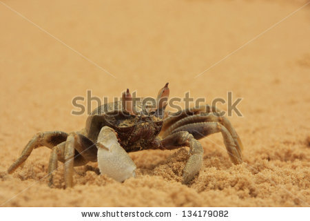 Horned Ghost Crab Stock Photos, Images, & Pictures.