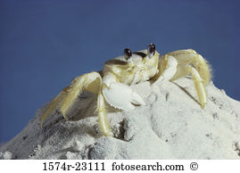 Ghost crab Stock Photos and Images. 548 ghost crab pictures and.