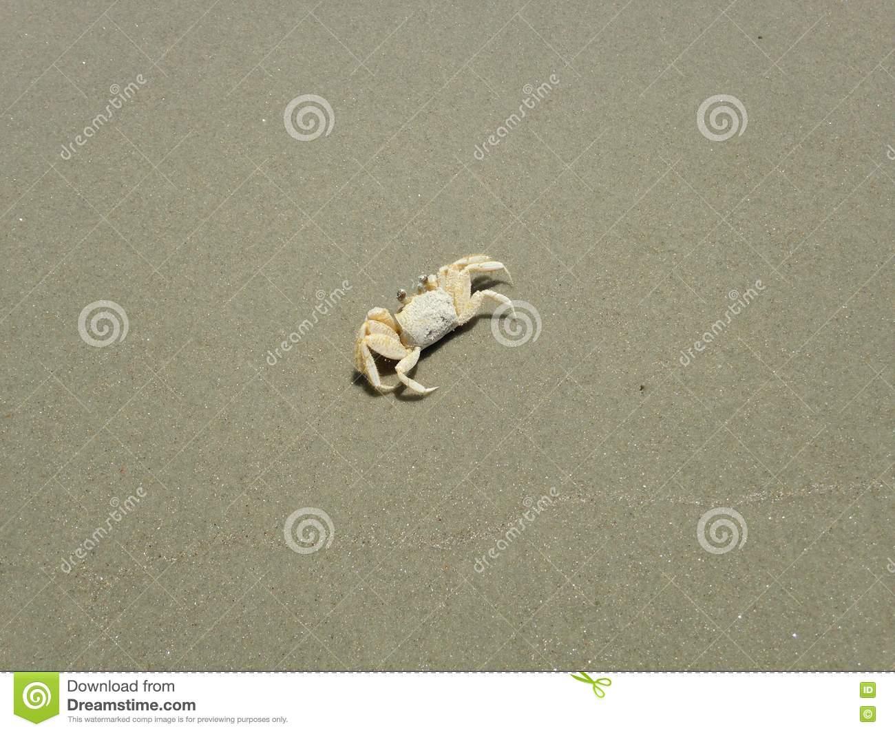 Ocypode Quadrata (Atlantic Ghost Crab) On Sand. Stock Photo.