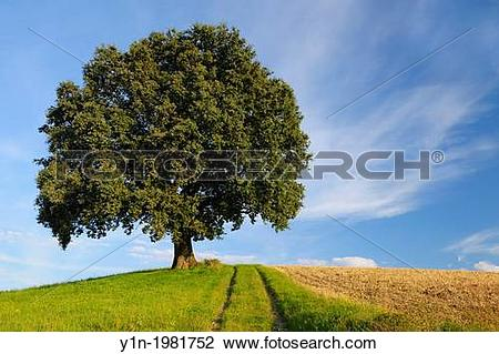 Stock Photo of Old Oak Tree with Path, Odenwald, Hesse, Germany.