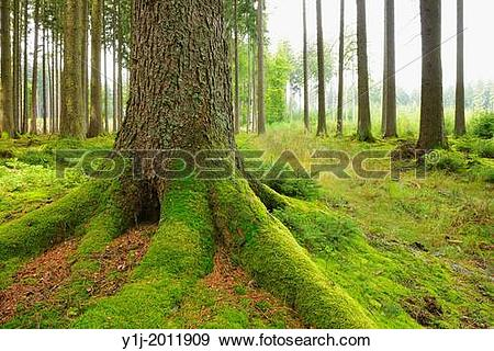 Stock Photograph of Spruce forest, Odenwald, Hesse, Germany.