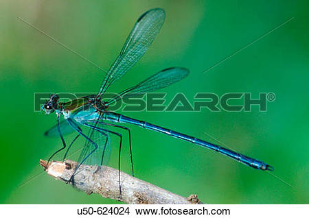 Stock Photo of Damselfly, Heliocharis amazona, Dicteriadidae.