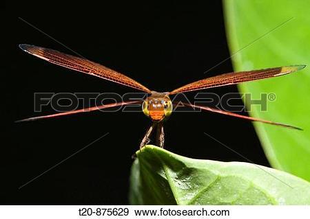 Stock Photograph of Dragonfly, Odonata, Peleliu Island, Micronesia.