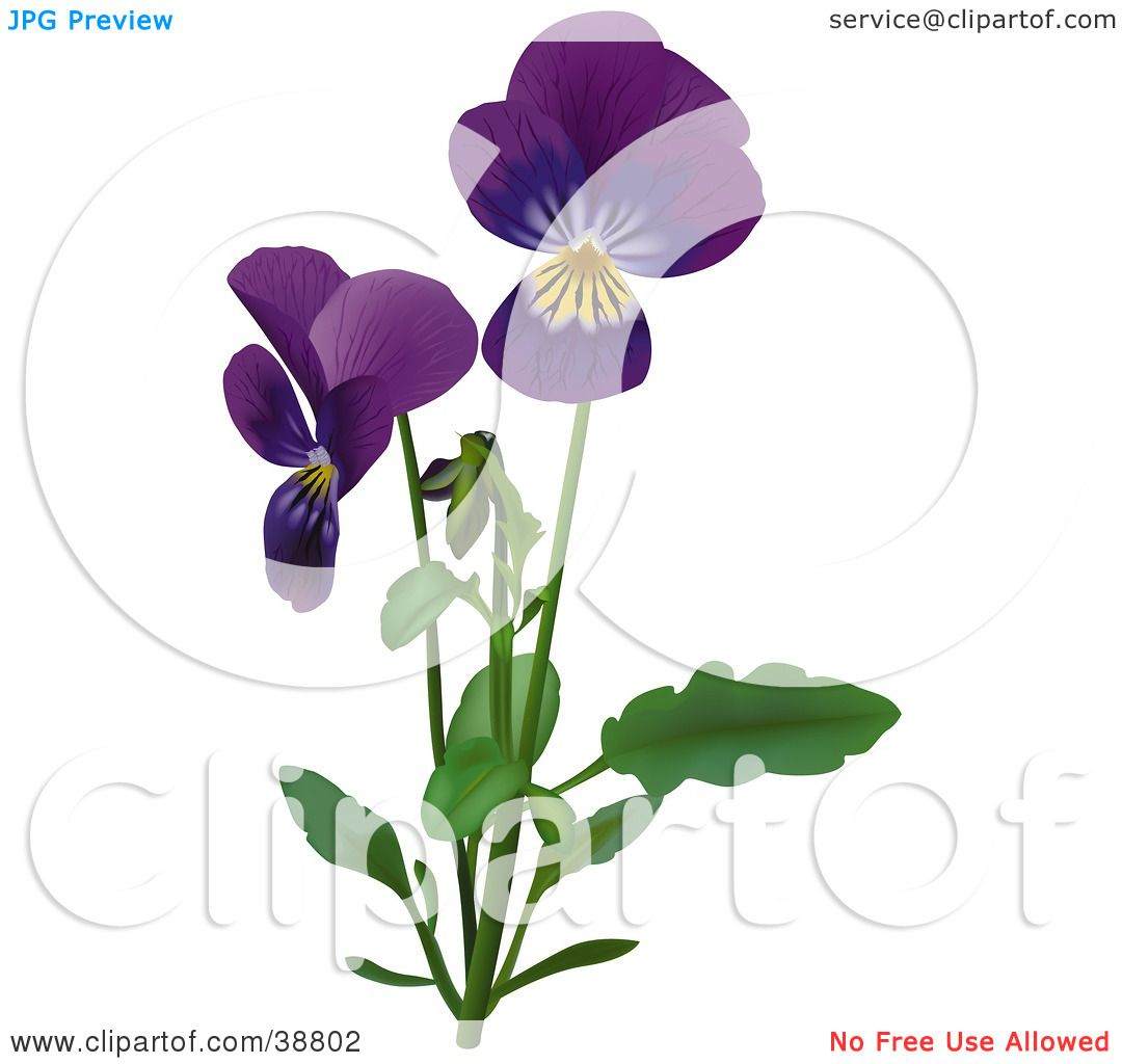 Clipart Illustration of Purple Viola, Sweet Violet, English Violet.