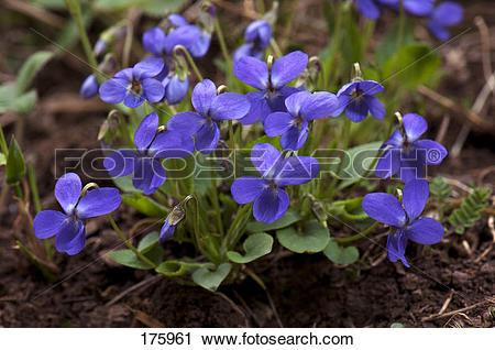 Stock Photography of Sweet Violet (Viola odorata), flowering plant.