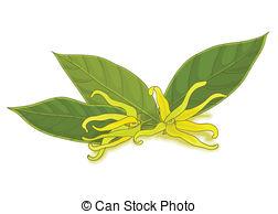 Cananga odorata ylang ylang Illustrations and Clipart. 20 Cananga.