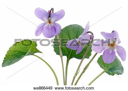 Viola odorata Stock Photo Images. 263 viola odorata royalty free.