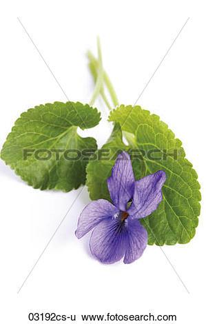 Stock Images of Viola odorata, close up 03192cs.