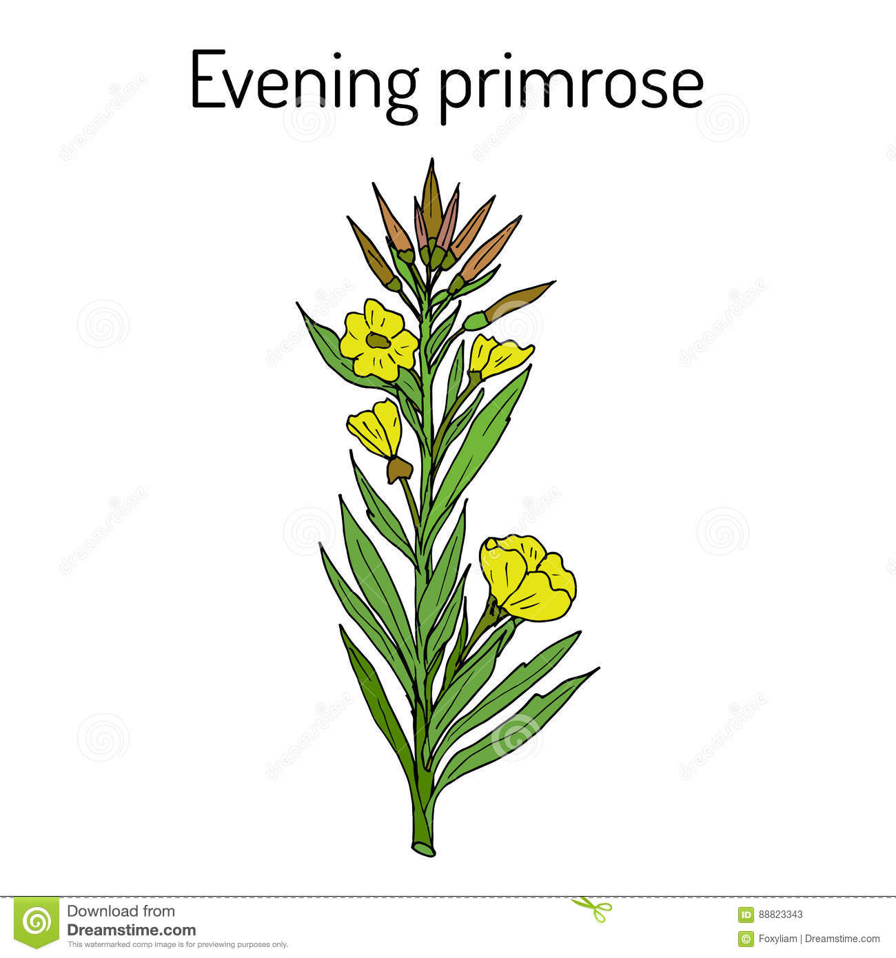Evening Primrose Oenothera Biennis , Or Suncups, Sundrops.