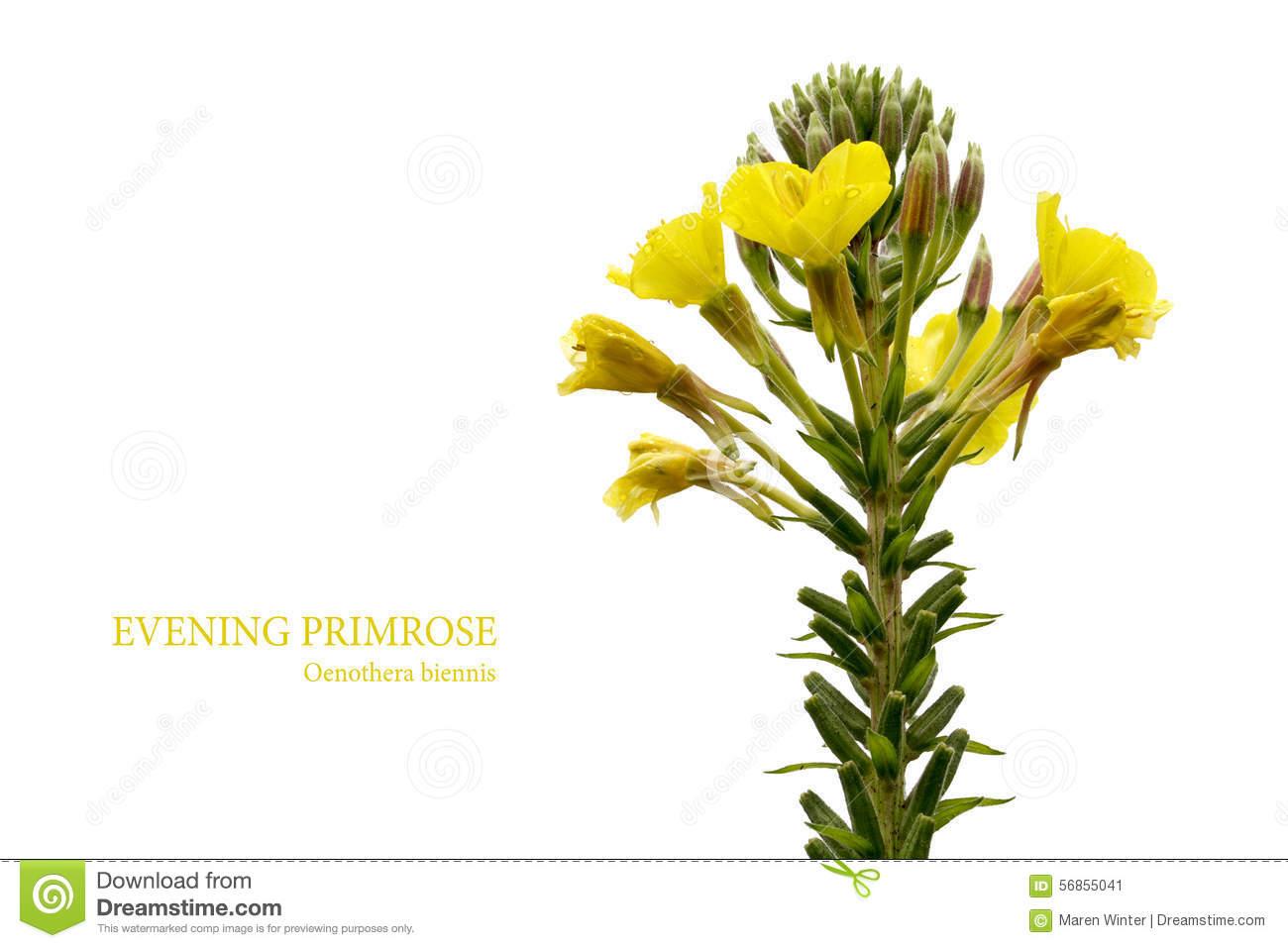 Evening Primrose (Oenothera Biennis) Stock Photography.
