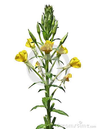 Evening Primrose (Oenothera Biennis) Royalty Free Stock Photos.