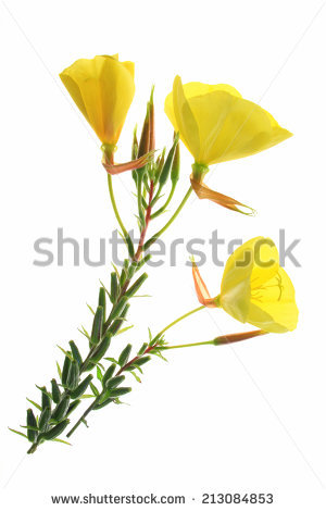 Oenothera Biennis Stock Images, Royalty.
