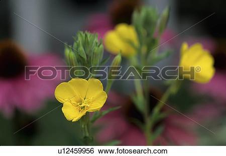 Stock Images of design summer evening primrose oenothera biennis.