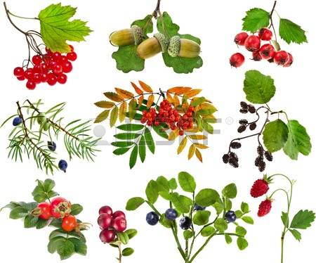Of the wild fruits clipart #5