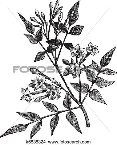 Clipart of Common Jasmine or Jasminum officinale vintage engraving.