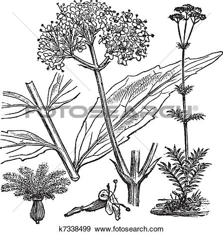 Clip Art of Garden Valerian or Valeriana officinalis, vintage.