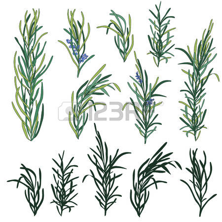 427 Officinalis Stock Vector Illustration And Royalty Free.