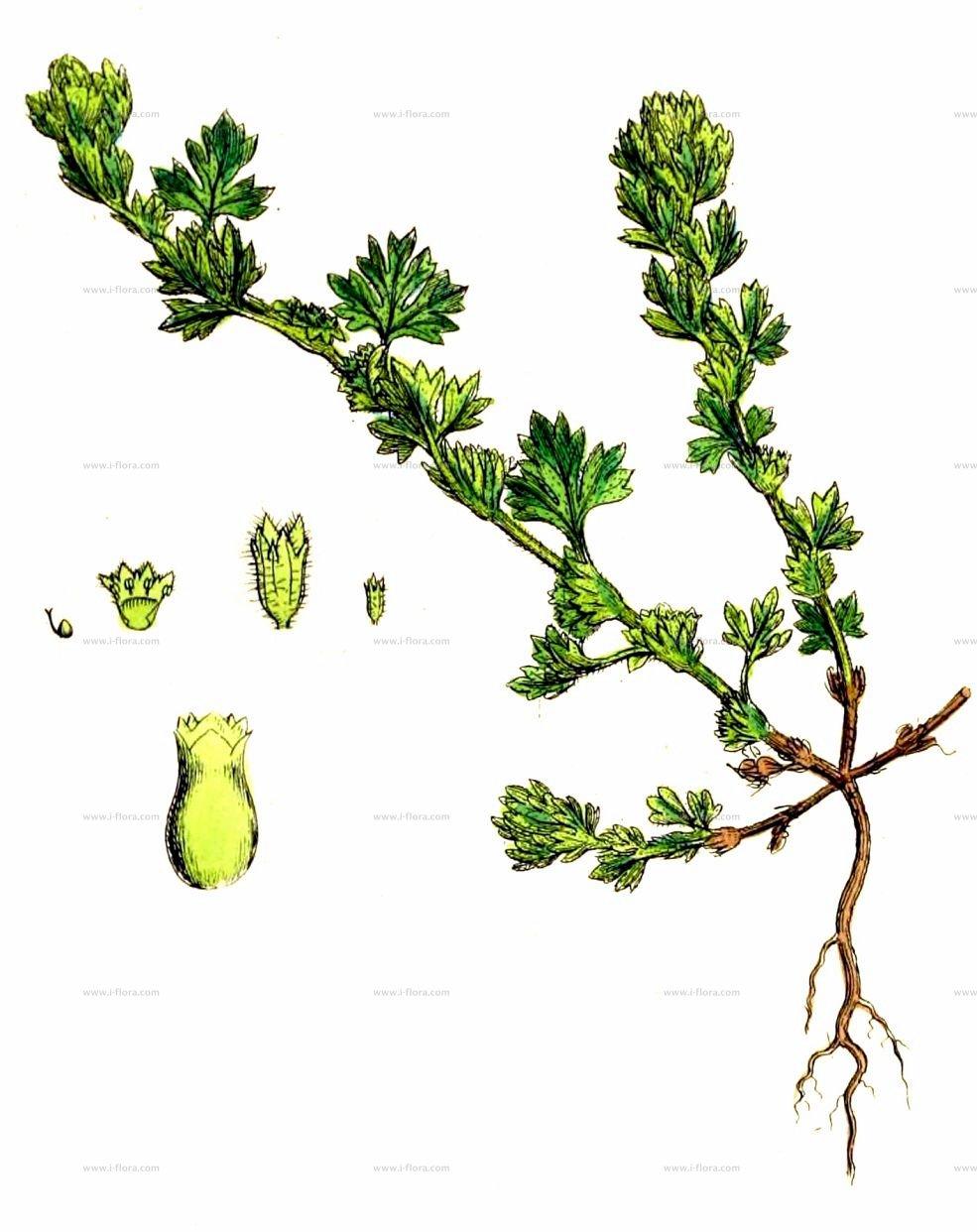 Stammbaum.
