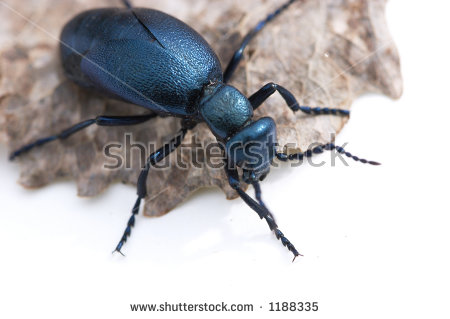 Black Oil Beetle Stock Photos, Images, & Pictures.