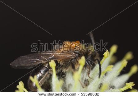 Oil Beetle Larva Stock Photos, Royalty.