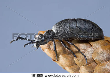 Stock Image of European oil beetle / Meloe proscarabaeus 161885.