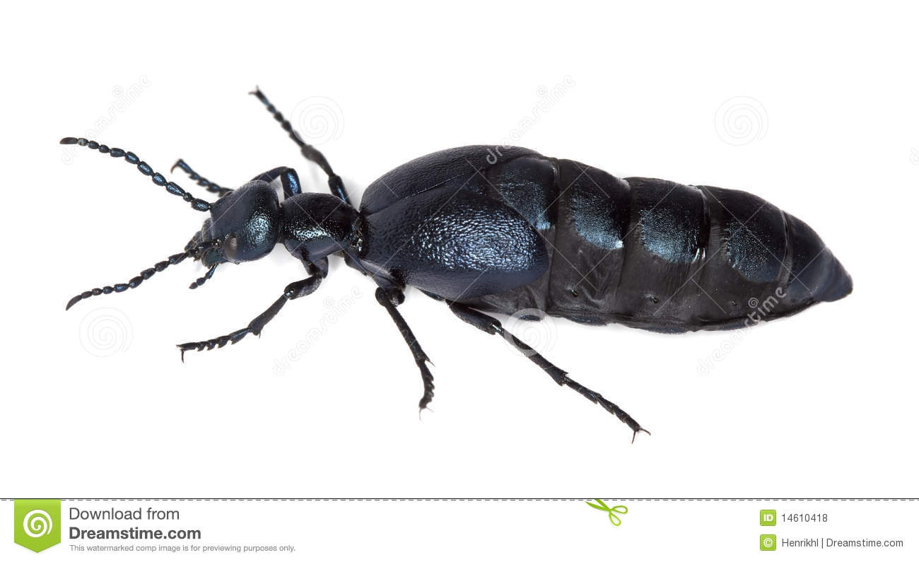 Oil Beetle Isolated On White Background. Royalty Free Stock Photos.