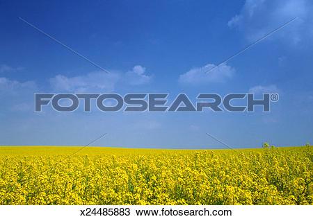Stock Photo of Oilseed rape field x24485883.